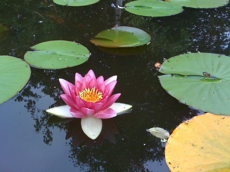 Lotus Pond