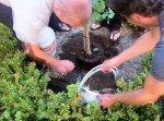 Planting Ginkgo Tree